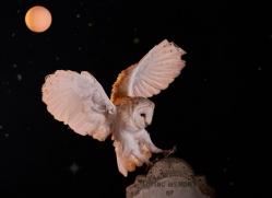barn-owl-copyright-photographers-on-safari-com-8843