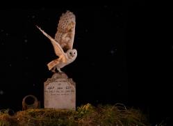 barn-owl-copyright-photographers-on-safari-com-8852