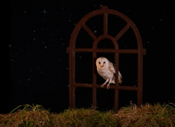 barn-owl-copyright-photographers-on-safari-com-8866