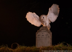 barn-owl-copyright-photographers-on-safari-com-8868