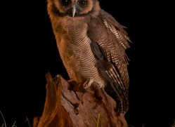 brown-asian-wood-owl-copyright-photographers-on-safari-com-8836