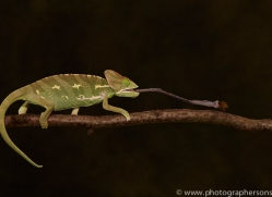 chameleon-copyright-photographers-on-safari-com-8710