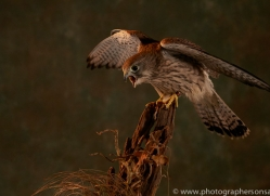 kestrel-copyright-photographers-on-safari-com-8747