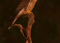 kestrel-copyright-photographers-on-safari-com-8886
