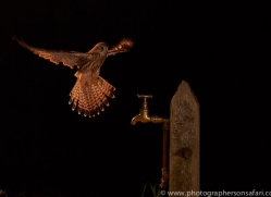 kestrel-copyright-photographers-on-safari-com-8889