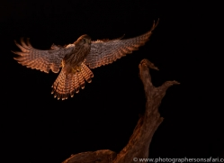 kestrel-copyright-photographers-on-safari-com-8890
