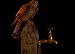 kestrel-copyright-photographers-on-safari-com-8892