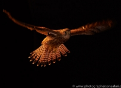kestrel-copyright-photographers-on-safari-com-8893