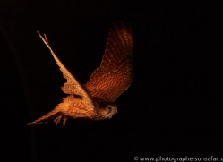 kestrel-copyright-photographers-on-safari-com-8894