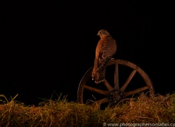 kestrel-copyright-photographers-on-safari-com-8895