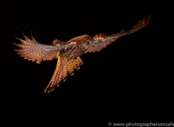 kestrel-copyright-photographers-on-safari-com-8905