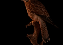 kestrel-copyright-photographers-on-safari-com-8907