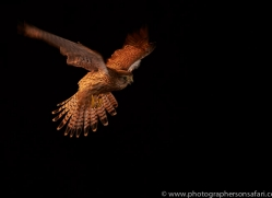 kestrel-copyright-photographers-on-safari-com-8908