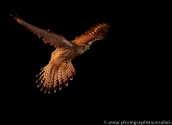 kestrel-copyright-photographers-on-safari-com-8909