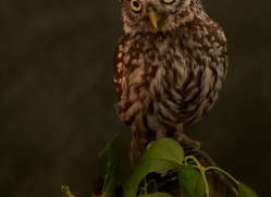little-owl-copyright-photographers-on-safari-com-8753