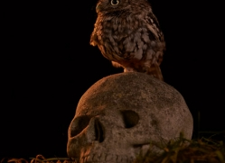 little-owl-copyright-photographers-on-safari-com-8913