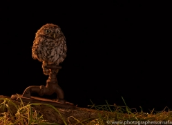 little-owl-copyright-photographers-on-safari-com-8914