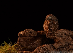 little-owl-copyright-photographers-on-safari-com-8917