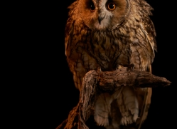long-eared-owl-copyright-photographers-on-safari-com-8775