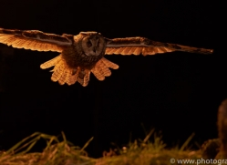 long-eared-owl-copyright-photographers-on-safari-com-8924