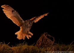 long-eared-owl-copyright-photographers-on-safari-com-8926