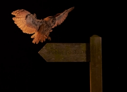 long-eared-owl-copyright-photographers-on-safari-com-8928