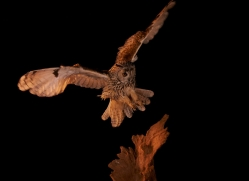 long-eared-owl-copyright-photographers-on-safari-com-8931