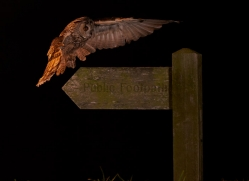 long-eared-owl-copyright-photographers-on-safari-com-8935