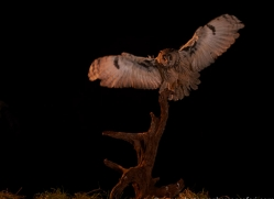 long-eared-owl-copyright-photographers-on-safari-com-8941