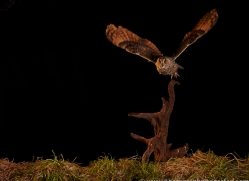 long-eared-owl-copyright-photographers-on-safari-com-8944