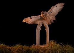 long-eared-owl-copyright-photographers-on-safari-com-8946