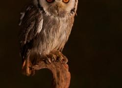 scopps-owl-copyright-photographers-on-safari-com-8950
