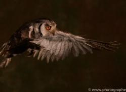 scopps-owl-copyright-photographers-on-safari-com-8951