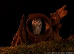 scopps-owl-copyright-photographers-on-safari-com-8954