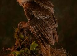 tawny-owl-copyright-photographers-on-safari-com-8823