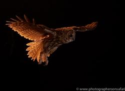 tawny-owl-copyright-photographers-on-safari-com-8964