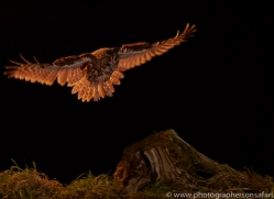 tawny-owl-copyright-photographers-on-safari-com-8974