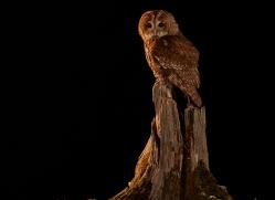 tawny-owl-copyright-photographers-on-safari-com-8984