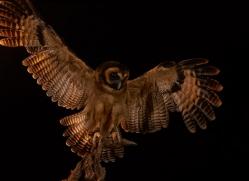 asian-brown-wood-owl-copyright-photographers-on-safari-com-8662