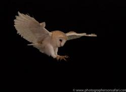 barn-owl-copyright-photographers-on-safari-com-8666