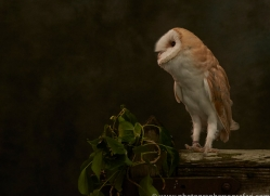 barn-owl-copyright-photographers-on-safari-com-8667