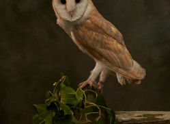 barn-owl-copyright-photographers-on-safari-com-8669