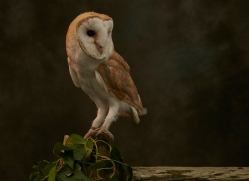 barn-owl-copyright-photographers-on-safari-com-8670