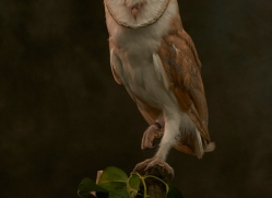 barn-owl-copyright-photographers-on-safari-com-8671