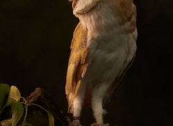 barn-owl-copyright-photographers-on-safari-com-8674