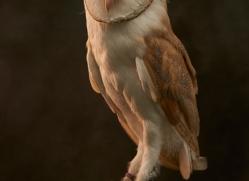 barn-owl-copyright-photographers-on-safari-com-8675