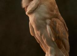 barn-owl-copyright-photographers-on-safari-com-8676