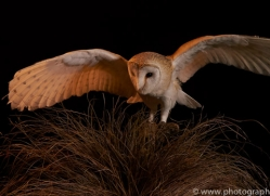 barn-owl-copyright-photographers-on-safari-com-8679