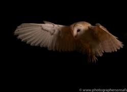barn-owl-copyright-photographers-on-safari-com-8684