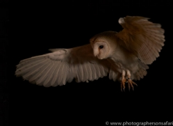 barn-owl-copyright-photographers-on-safari-com-8685